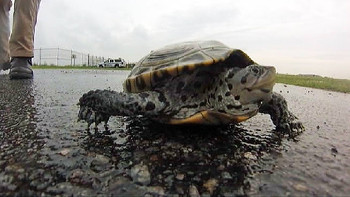 Terrapins at JFK Airport